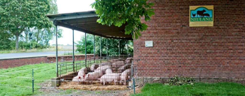 Schweine im Außenbereich