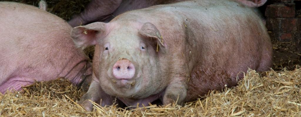 Heute schon Schwein gehabt...